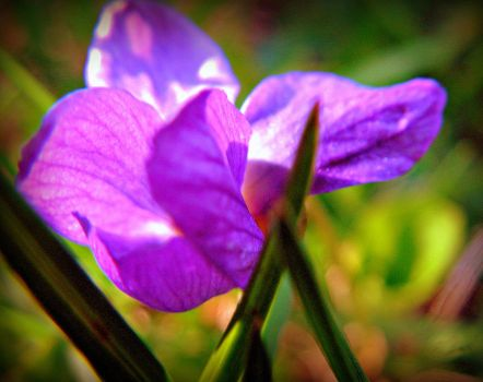 Spring Viola in The Grass - Macro by surrealistic-gloom