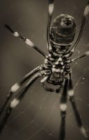 Mr. Spider Closeup by Wings-of-Light