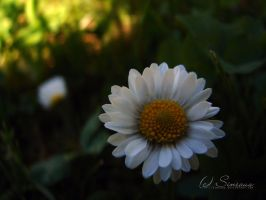 dark daisy by sineous