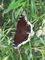 Mourning Cloak Butterfly 2b by Windthin