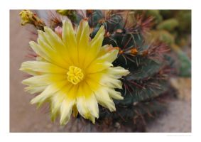 Blooming cactus by MBKKR