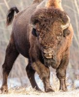 Wood Bison - Be Afraid by JestePhotography