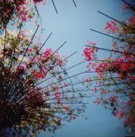 Flowers by Holga by osoling
