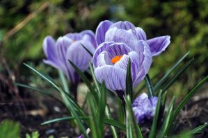 Crocuses by laufiend