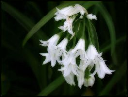 WHITE BELLS by THOM-B-FOTO
