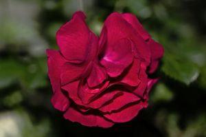 Red Rose by Labyr1nth