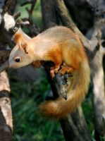 Red Tree Squirrel by CindarellaPop