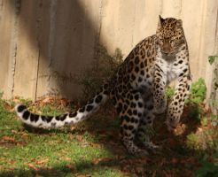 Amur Leopard Stock 25 by HOTNStock