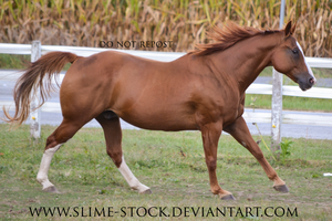 gaited quarter horse canter by slime-stock
