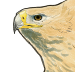 Iberian Imperial eagle study by omnicogni