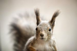 Squirrel VIII by sampok