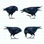 Crow Stock Pack 2 by Shoofly-Stock