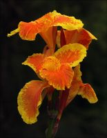 Canna Lily So Bright by Firey-Sunset