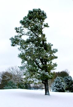 Winter Tree by thespes