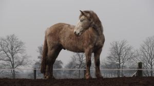 Vito - Standing Gray Welsh Gelding by Horselover60-Stock