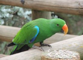 Mr. Eclectus by Black-Pteri