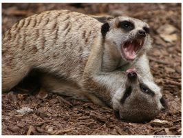 Meerkats: Gotcha by TVD-Photography