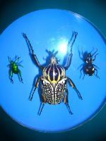 Goliath, Emerald, and Spotted Beetles by jesus-at-art