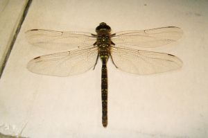 Dragonfly with green by Ripplin