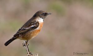 Stonechat close up by Slinky-2012
