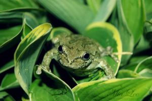 Gray Tree Frog 05 by MiaLeePhotography