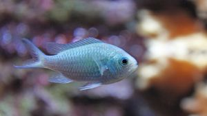 Chromis viridis - Green Chromis by BetaDraconis