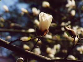 magnolia by magamy