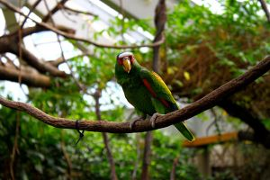 Red Lored Amazon Parrot II by AngelaRizza