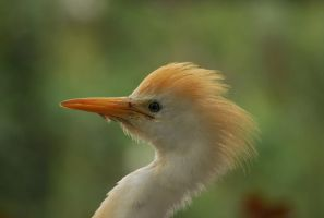 Cattle Egret. by quaddie