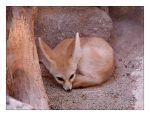 Fennecus zerda by blackjack1603