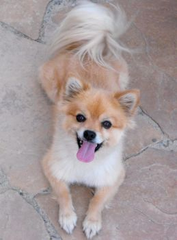 American Eskimo IV by Photos-By-Michelle