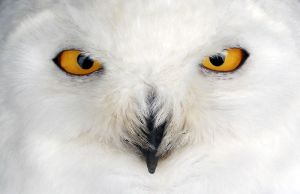 Snowy Owl. by XColourlessXRainbowX