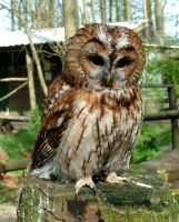 Tawny Owl by April-Snowflake