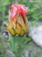 Pink Cactus Flower by TheGerm84