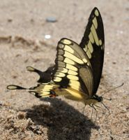 Giant Swallowtail by DavidofArbelaStock