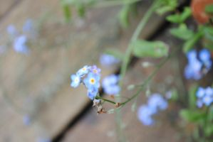Forget me not by Makachop128