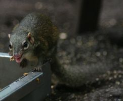 Common treeshrew by Parides