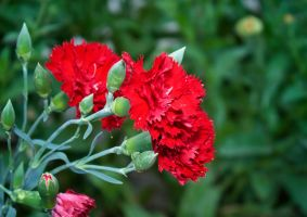 Red Carnation by sztewe