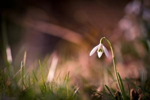 Snowdrops II by fr31g31st