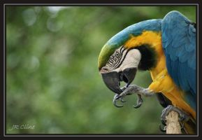 Blue and Gold Macaw by eskimoblueboy