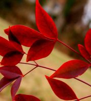 Red Red Leaves by Photographiq