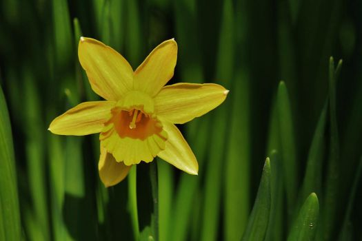 Yellow Star by Dieffi