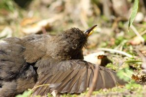 Female Blackbird by JetteReitsma