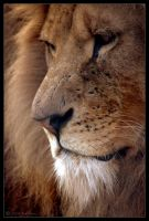 African Lion by lomoboy