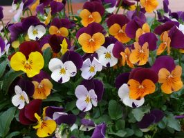 Violas by Otoff