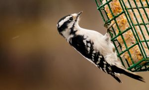 Downy Woodpecker by Maginater