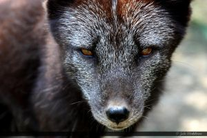 Arctic Fox 7 by Canisography