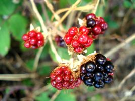 Blackberries by Layit