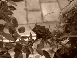 Rose Plant3 by evilminky666