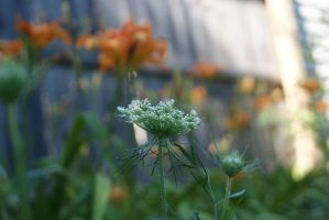 Queen Anne's Lace by ShabbyTab